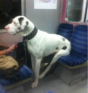 Как перевозить домашних животных на поезде Сапсан